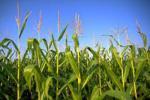 Các nhà nghiên cứu sử dụng máy bay không người lái để theo dõi sức khỏe của cây trồng