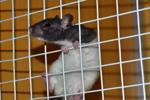 Có phải chuột đang dẫn đường cho trí tuệ tăng cường?
