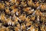 Android có mơ về ong điện không?
