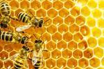 Những con ong được kết nối: Sức khỏe ong kích hoạt IoT
